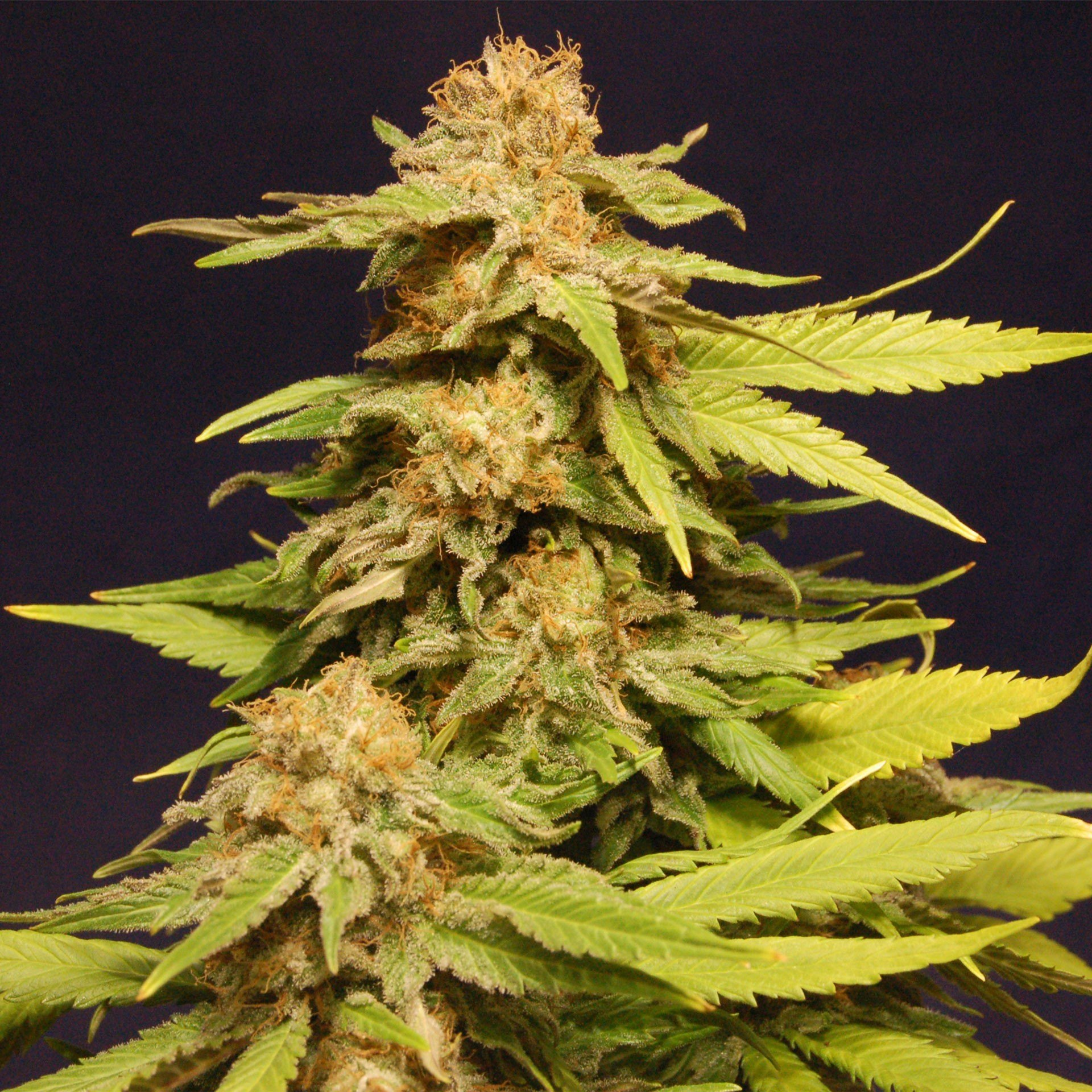 Big Bull Kannabia Seeds